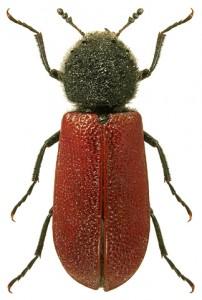 Bostrychus capucinus