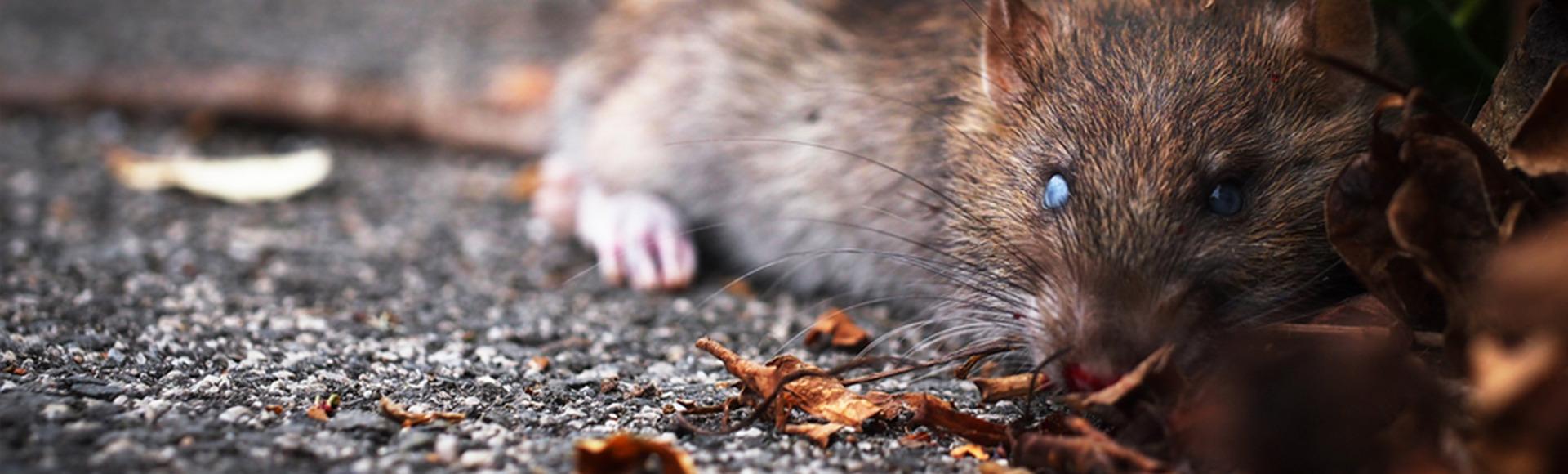 Pest-Control-North-London-Rat-1920x580