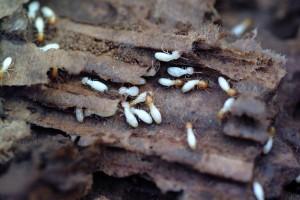 keogh termite high quality 2
